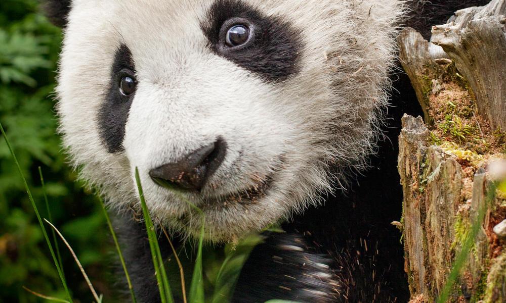 panda cub peeking out