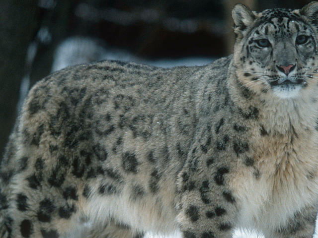 Snow Leopard Species Wwf
