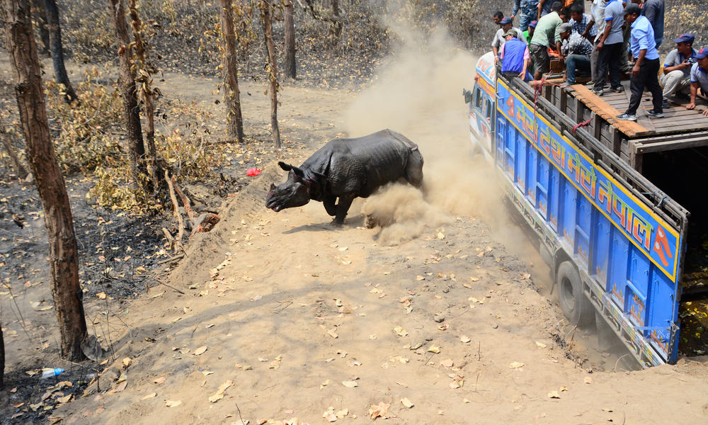 The translocated rhino will be joined by an additional four from chitwan with the aim of creating a viable population of rhinos in shuklaphanta.