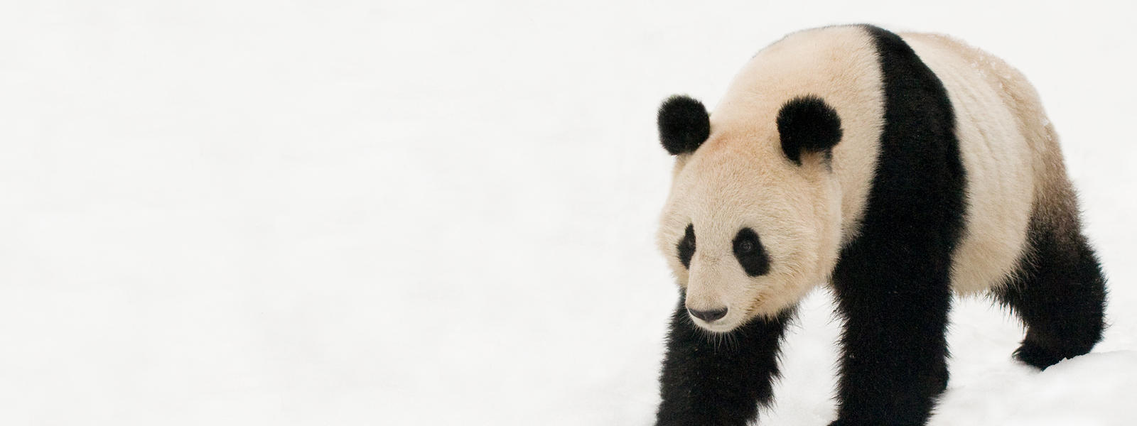 panda walking in snow
