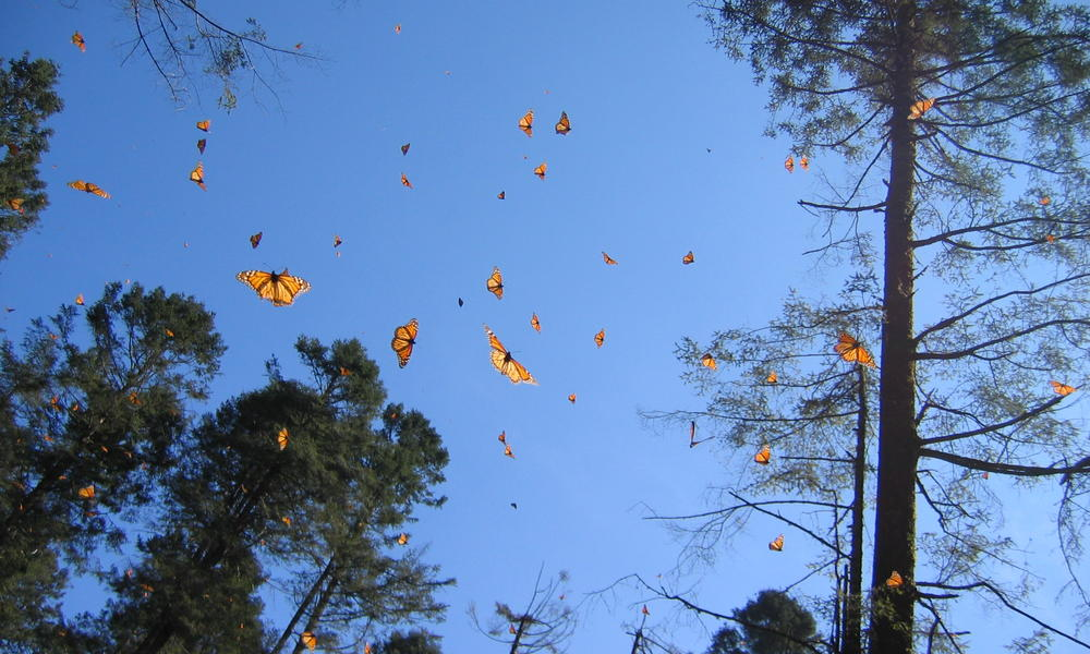 Butterflies flying through trees