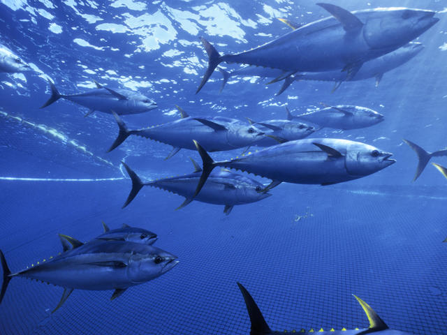 Yellow fin tuna caught in seinder fishing nets