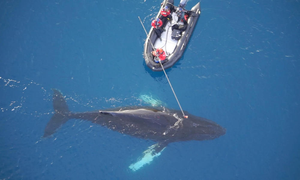 Rswwfau 9223 tagging humpback and minke whales  antarctica 18 web