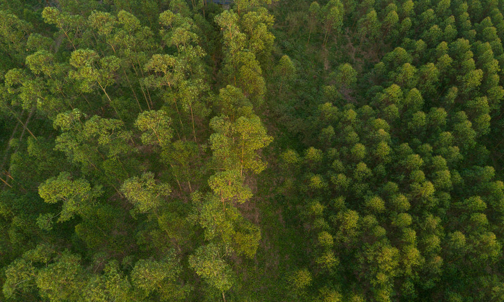 An aerial view of a eucalyptus forest in China