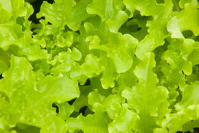 Lettuce growing on a farm