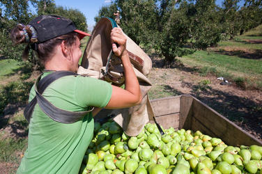 Picking pears in a pear orchard