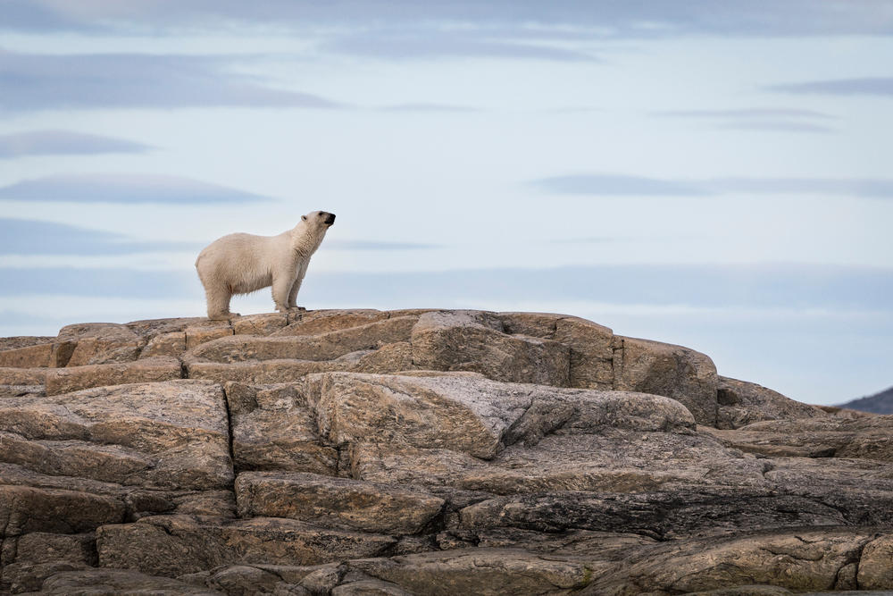 Summit   polar bear  svalbard  norway  2013   4sv13 4977