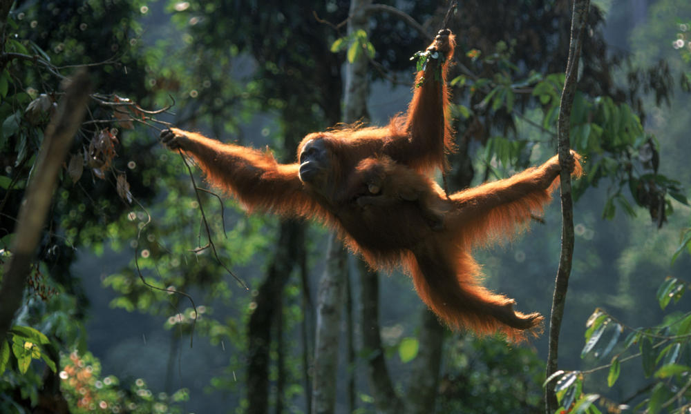 Sumatran orangutan 8.6.2012 what wwf is doing xl 257637