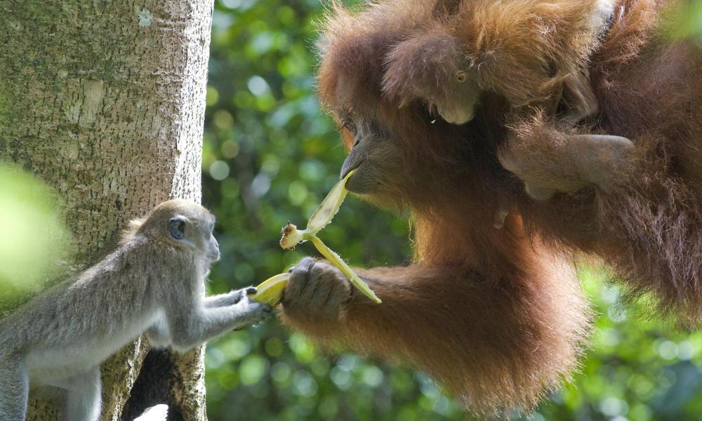 Orangután de Sumatra 8
