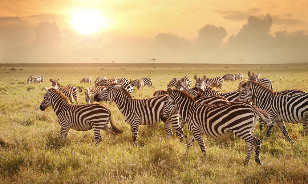 Zebras in a field at dusk
