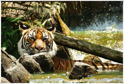 An Indochinese tiger in the water