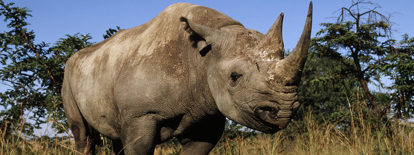 black rhino species wwf