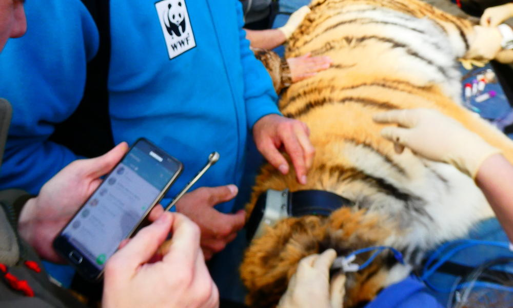Amur tiger Filippa, sedated
