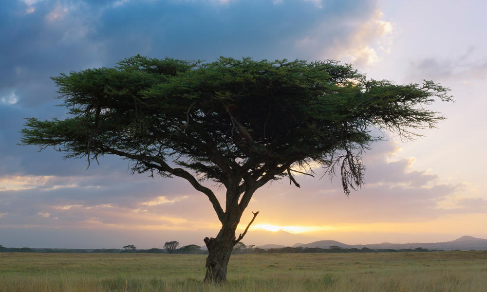 Acacia tree at sunrise, Kenya