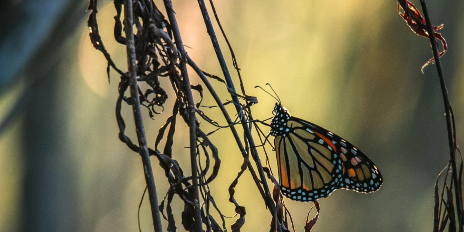 working together for monarchs magazine articles wwf