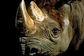 Black rhino 8.6.2012 threats2 hi 203311