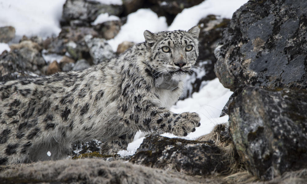 Collared snow leopard, Yalung.