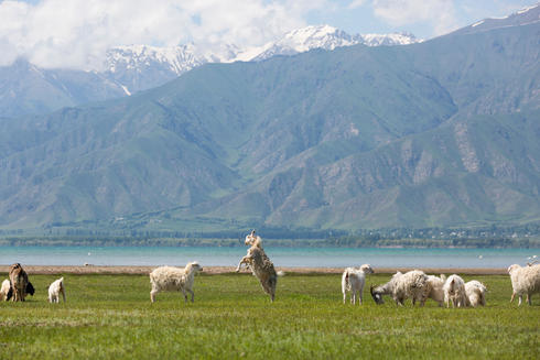 Sheep on the shore of Lake-Issky-Kul, Kyrgyzstan