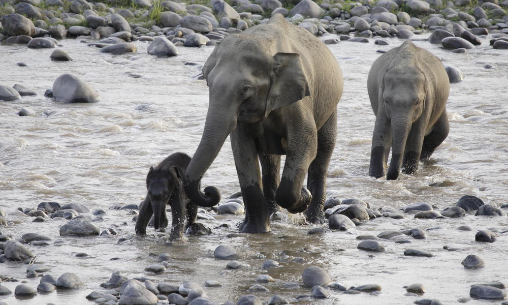 A calf being helped crossing a river.