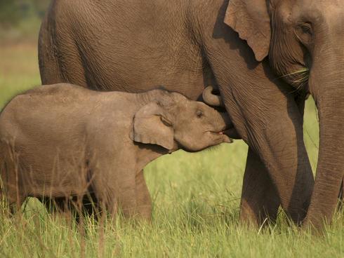 A calf feeding
