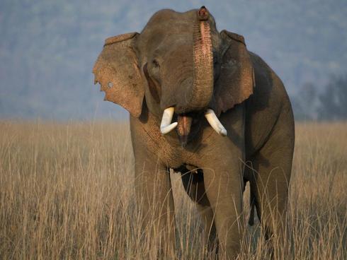 Tusked elephant