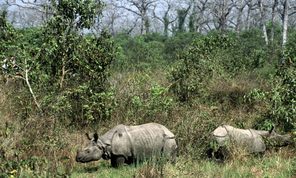 Greater one-horned rhino moved to new home in Nepal
