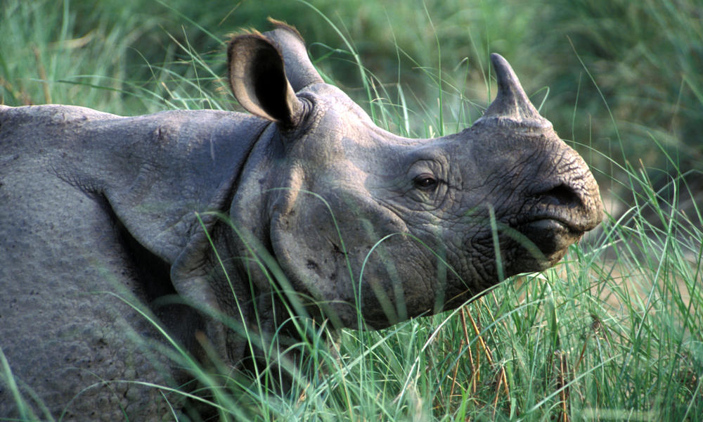 Greater One Horned Rhino