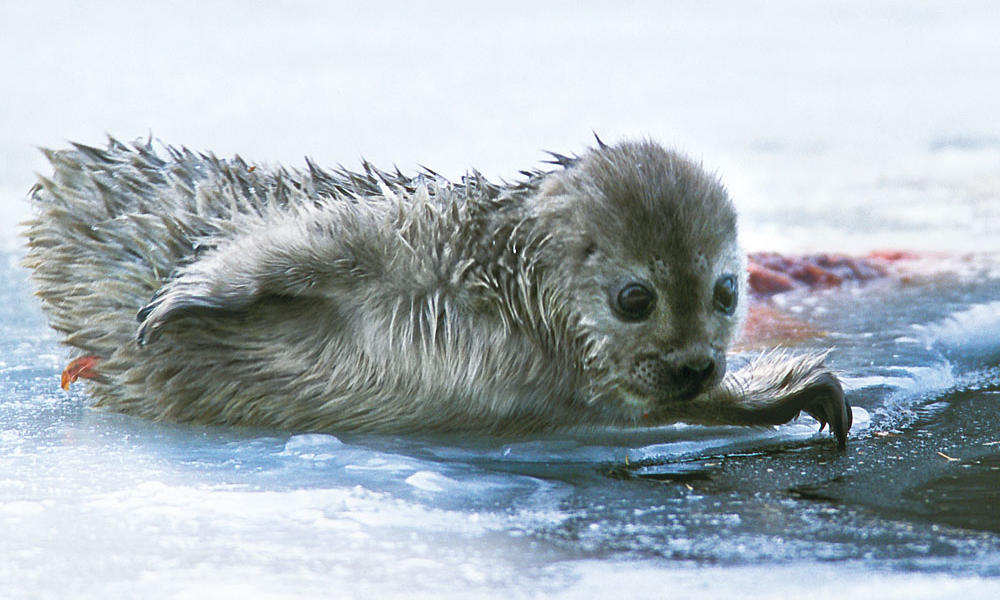 Sainaa ringed seal pup