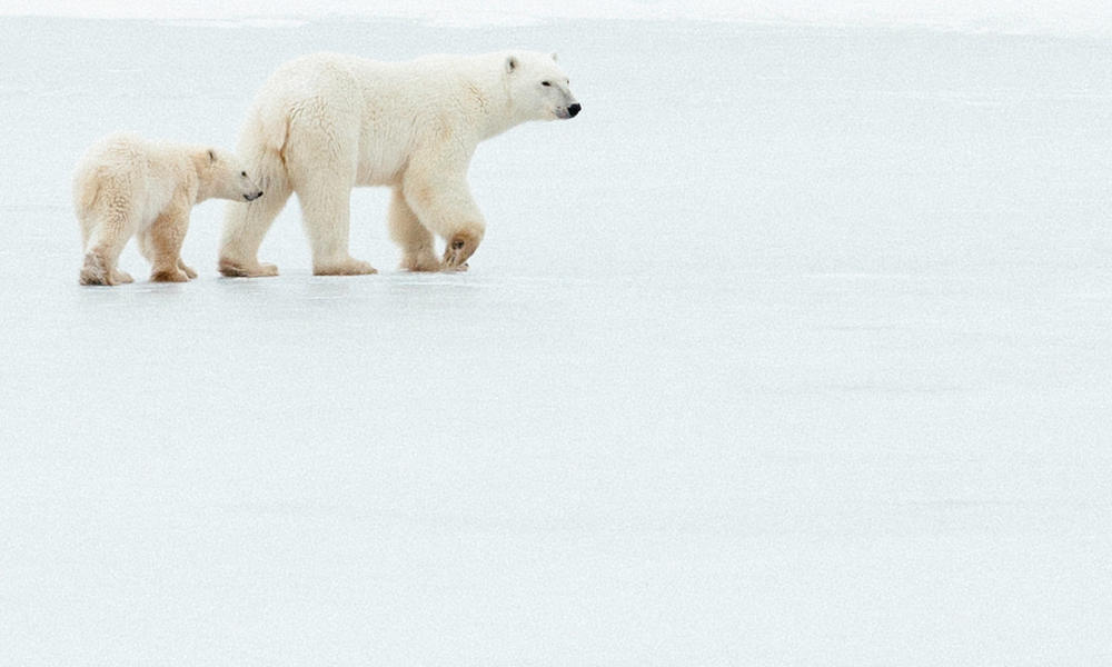 Polar bear mother and cub walk across the ice