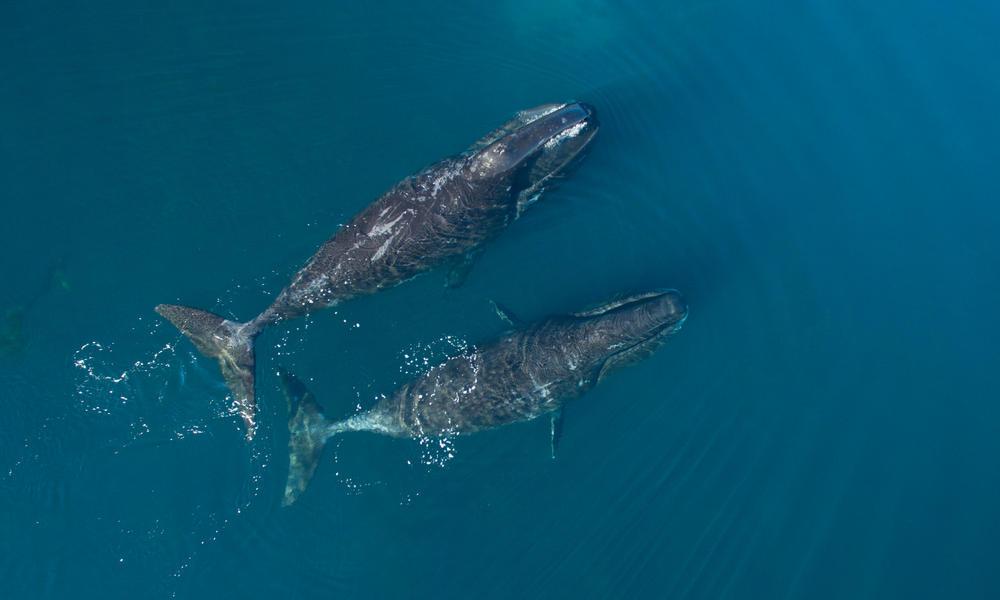 Two bowhead whales