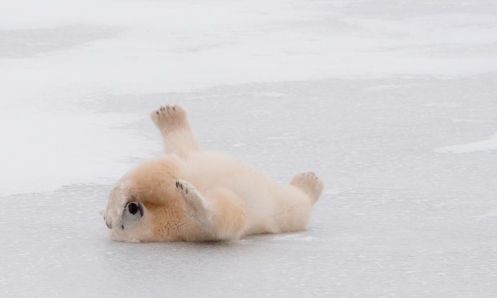 Polar bear lies on ice