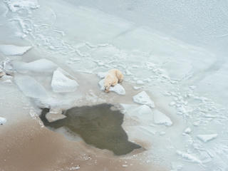 Polar bear lying on the ice