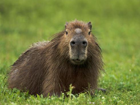 A capybara in Argentina.