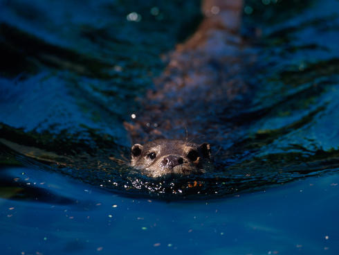 A otter swimming.