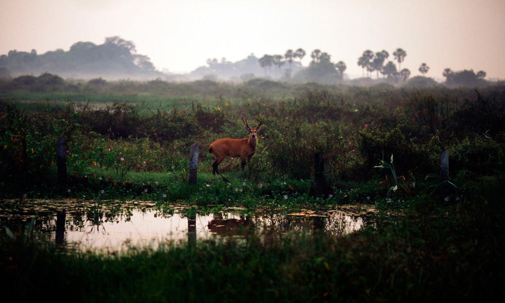 A marsh deer standing alert in Pantanal.