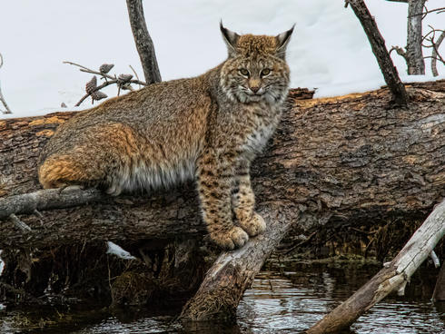 A bobcat standing on a fallen tree.