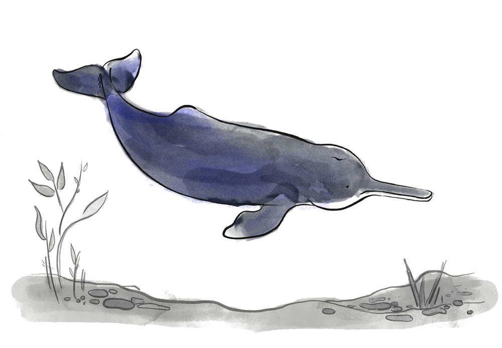 Illustration of the extinct freshwater river dolphin, the baiji
