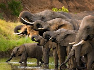 Herd of elephants drinking at a waterhole.