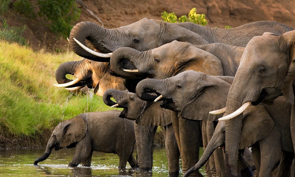 Herd of elephants drinking at a waterhole.