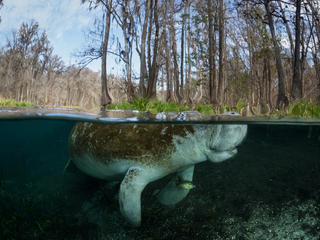 Manatee beneath a river surface
