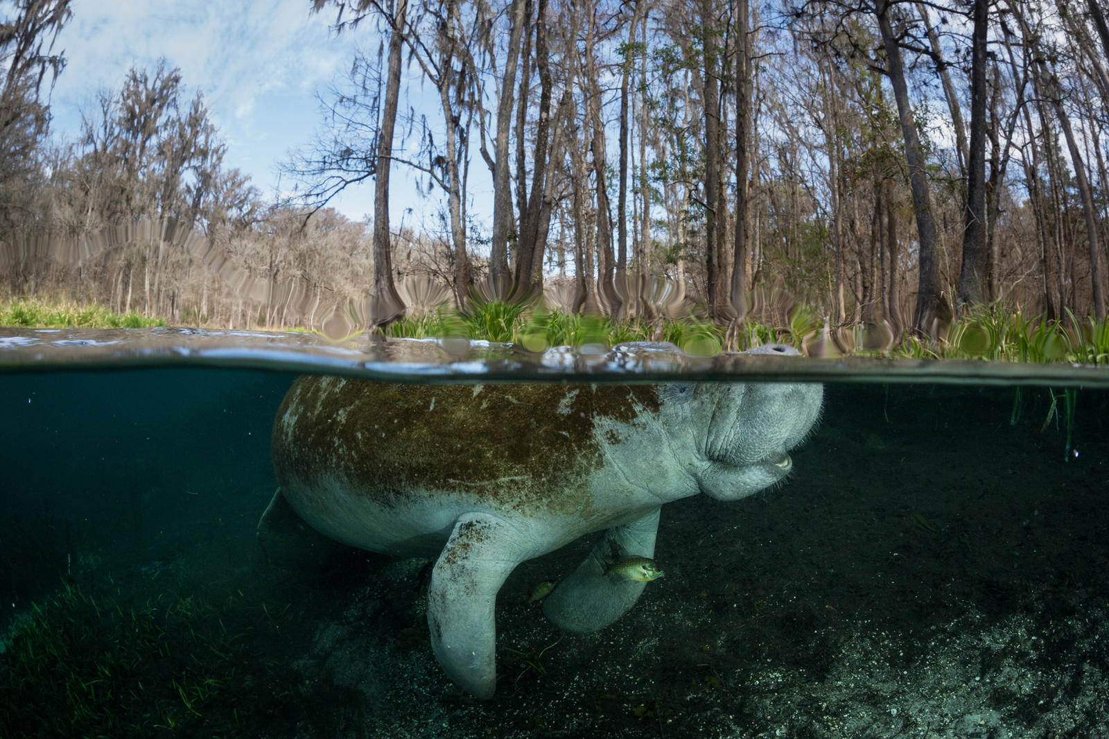 In The Us Manatees Get A Change In Status Magazine Articles Wwf
