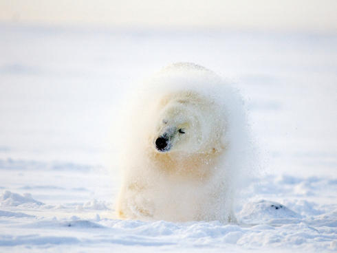 polar bear shakes its fur