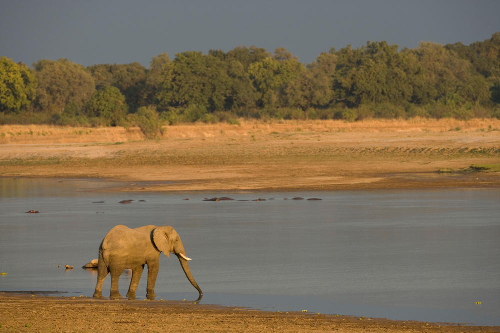 Elephant (Loxodonta africana) drinking on the Luangwa river, Luangwa National Park. Zambia