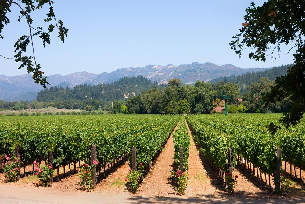 a vineyard in California