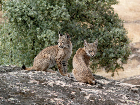 Two young Iberian Lynx.