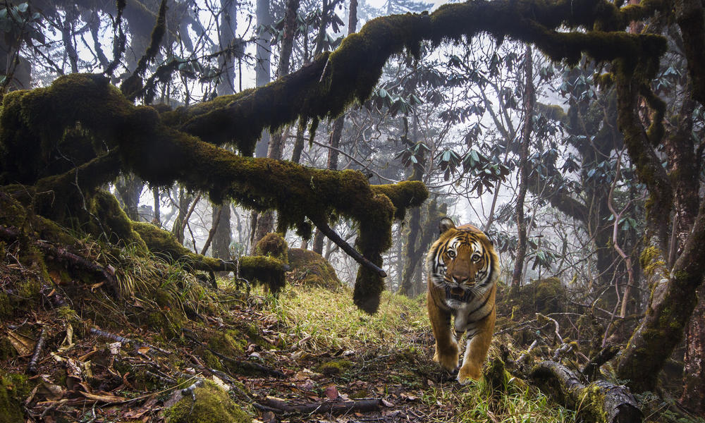 A tiger walking in Bhutan.