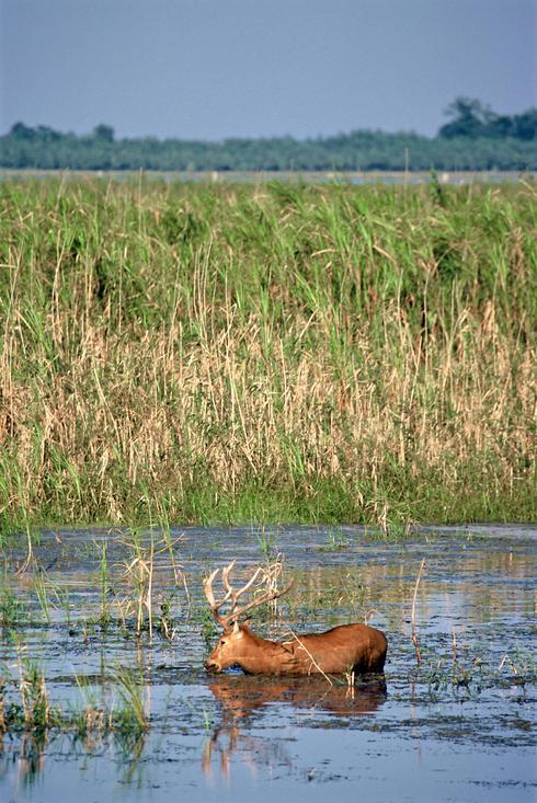 Pere David's Deer wading in water