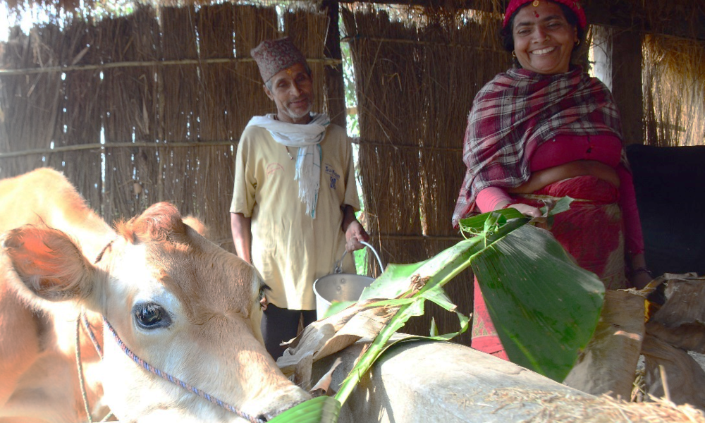 A woman and man in a livestock shed feeding a cow.