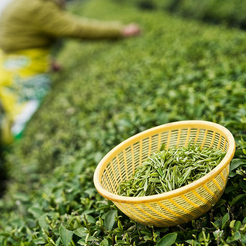 Harvested green tea in a yellow basket