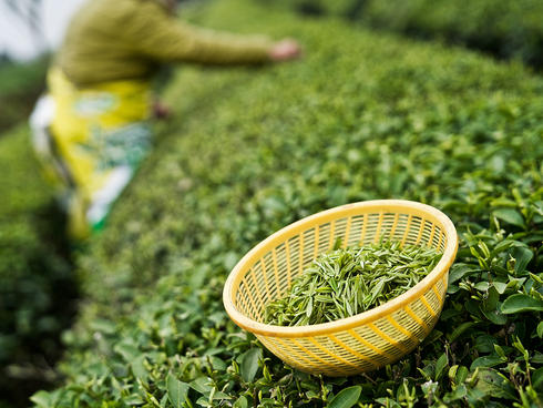 Harvested fresh green tea leaves in a basket